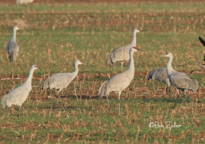 Sandhill Cranes a little closer.