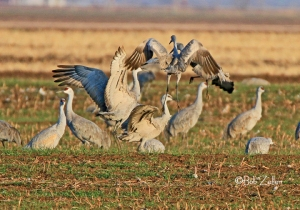 Sandhill Cranes doing mating dance.