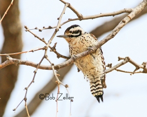 Ladder-backed Woodpecker - female