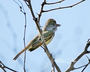 Ash-throated Woodpecker