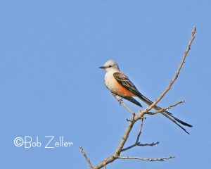Scissor-tailed Flycatcher - first one of the season