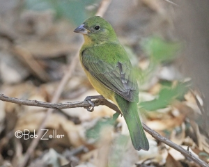 Painted Bunting - female of the species.