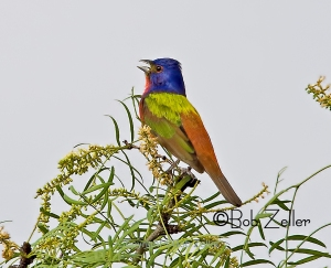 Painted Bunting - singing from the highest treetops.