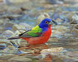 Painted Bunting - bath time.
