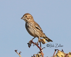 Lark Sparrow - juvenile