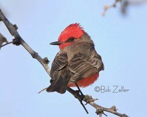 Vermilion Flycatcher - male