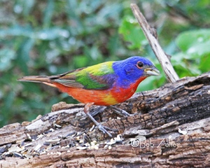 Painted Bunting on log