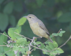 Orange-crowned Warbler (winter, oresta)