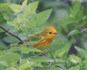 Yellow Warbler peeks from the leaves.