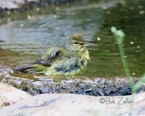 Bay-breasted Warbler taking a bath.  Female, 1st year, summer