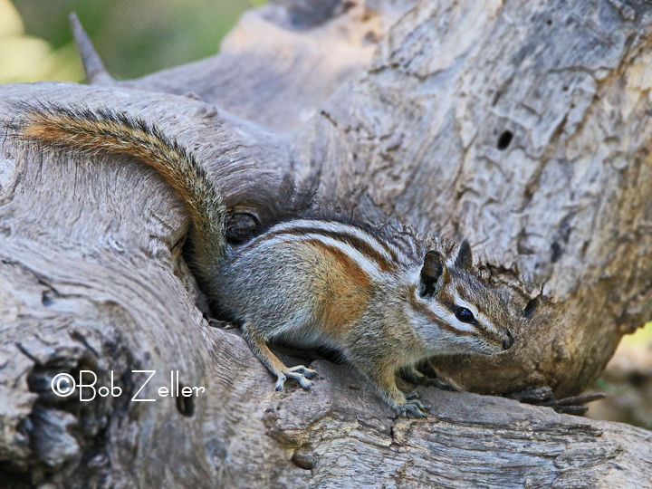 Image result for gray footed chipmunk
