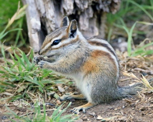 Gray-footed Squirrel
