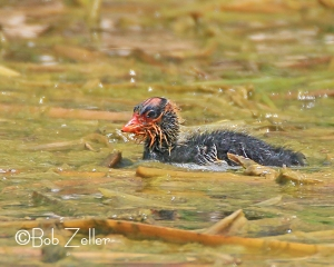 American Coot - a very young one.