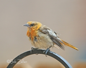 A very wet immature female Blullock's Oriole.