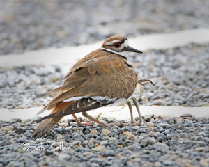 Killdeer sheltering a young one.