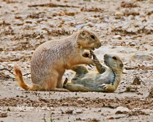 PLayful Prairie Dogs