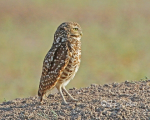 Burrowing Owl - in early morning light.