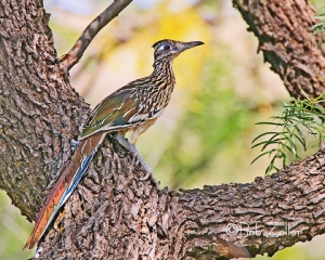 Greater Roadrunner resting in a tree.