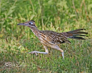 Greater Roadrunner enjoying the chase.