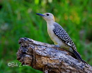Golden-fronted Woodpecker - female taking a pose for me.