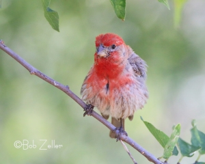 House Finch ruffling it's feathers.