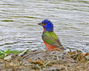 Painted Bunting - getting a bath.