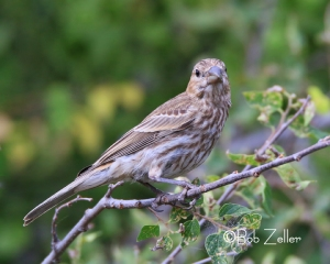 House Finch - femals