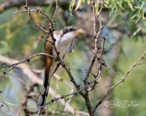 Yellow-billed Cuckoo - he can sing, too.