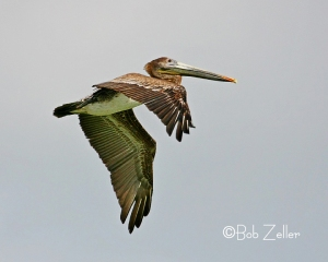 Brown Pelican in flight.