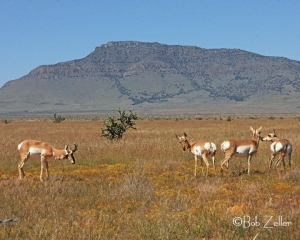Pronghorned Antelope grazing near Blue Mountain.