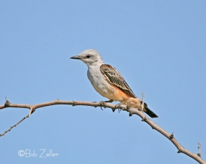 Juvenile Scissor-tailed Flycatcher