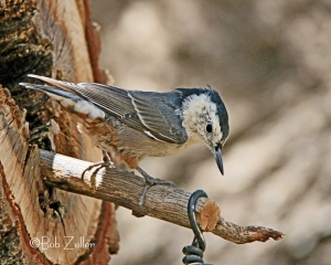White-breasted Nuthatch from camera