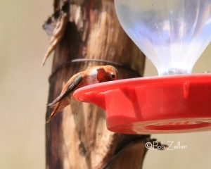 Adult Rufous Hummingbird at the feed trough.