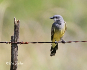 Western Kingbird from the camera.