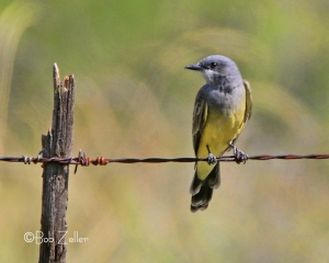 Western Kingbird after post processing.