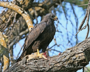 Zone-tailed Hawk with fresh catch.