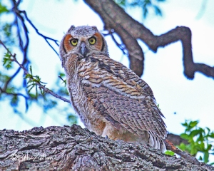 Young Great-horned Owl.  A raptor to be.