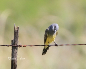 Which Kingbird is this.