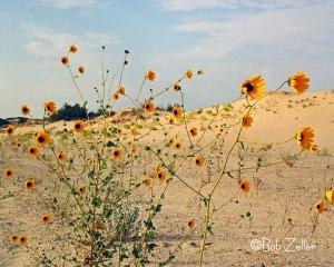 Sun flowers in the wind.