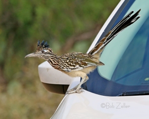 Great Roadrunner on the hood of our car.