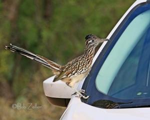 Greater Roadrunner on our car.