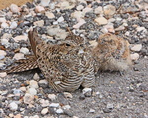 Adult Common Nighthawk with chick