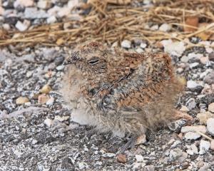 Common Nighthawk chick