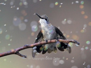 Black-chinned Hummingbird - singing in the rain