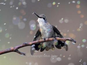 Black-chinned Hummingbird - singing in the rain