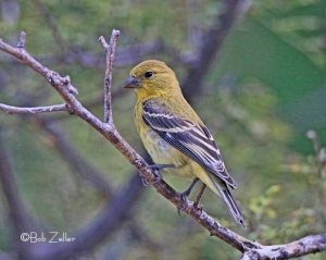 Lesser Goldfinch - juvenile male