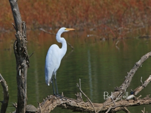 Great Egret - photographed near Abilene, Texas
