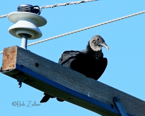 Black Vulture surveys the landscape.
