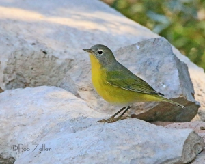 Nashville Warbler photographed at South Llano State Park