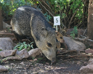 Adult Javelina with two babies peeking.